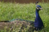 image of ocelot  - blue peacock posing - JPG