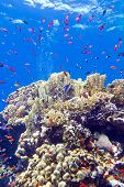 picture of bottom  - colorful coral reef with exotic fishes anthias at the bottom of tropical sea on blue water background - JPG