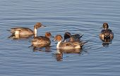 stock photo of pintail  - Group of Northern Pintail Ducks (Anas acuta) ** Note: Visible grain at 100%, best at smaller sizes - JPG