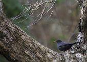 picture of ireland  - Blackbird  - JPG