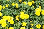 image of marigold  - Yellow marigold flower in the garden, Yellow Marigold flower.