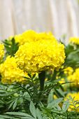 stock photo of marigold  - Yellow marigold flower in the garden, Yellow Marigold flower.