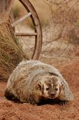 foto of badger  - American badger  - JPG