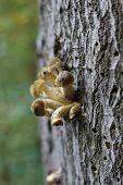 foto of fungus  - Bunch of honey fungus mushrooms (species Armillaria solidipes syn. Armillaria ostoyae) on bark. ** Note: Shallow depth of field - JPG