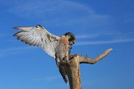 foto of falcons  - Peregrine falcon  - JPG