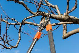 foto of prunes  - Pruning peach - JPG