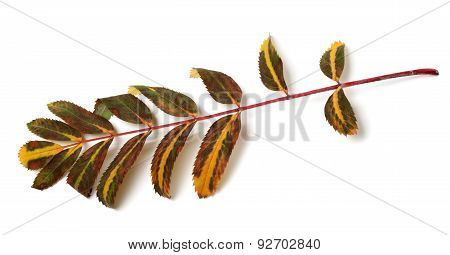 Multicolor Leaves Of Rowan