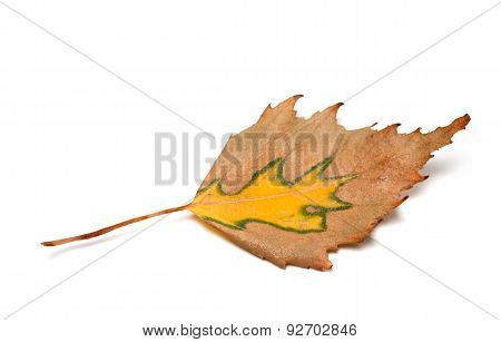 Autumn Birch Leaf On White Background