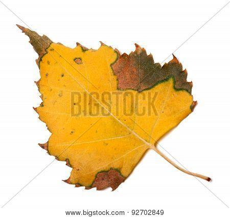 Yellowed Autumn Leaf Of Birch