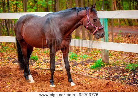 Beautiful Brown Strong Horse Walks On Nature