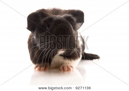 Baby Guinea Pig Isolated On The White Background. Coronet