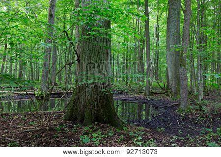 Summertime Alder Bog Deciduous Stand