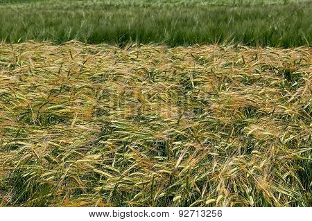 Background With Wheat 15