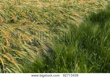 Background With Wheat 14