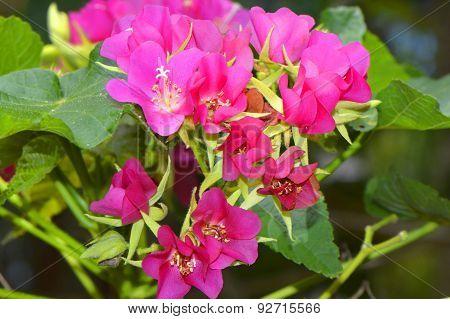 Seminole dombeya, Tropical Hydrangea dombeya burgessiae 'seminole'