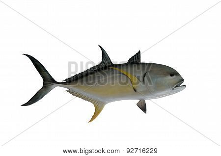 Jack Cavelle Fish Mount