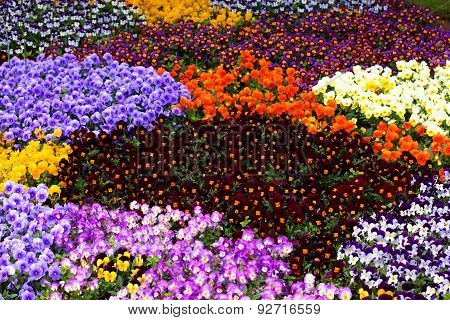 Field Of Colorful Pansy Flowers In Spring