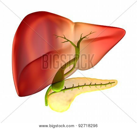 Gallbladder Cross Section Real Human Anatomy - Isolated On White