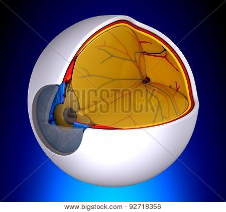 Eye Cross Section Real Human Anatomy - On Blue Background