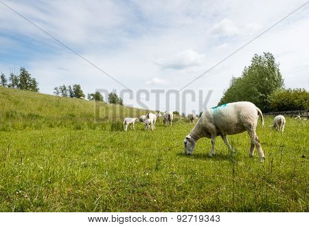 Marked Sheep Grazing In Fresh Grass