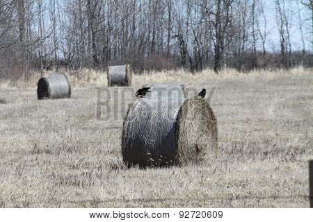 Crows on Hay Bales