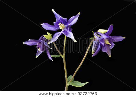Purple Aquilegia Flowers