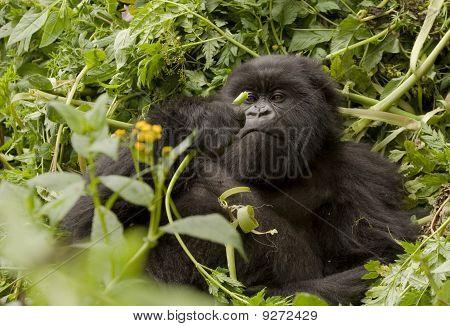 Mountain Gorilla Vegetarian