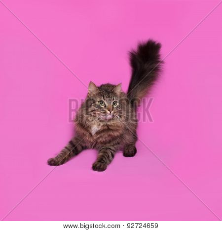Fluffy Tabby Cat Standing On Pink