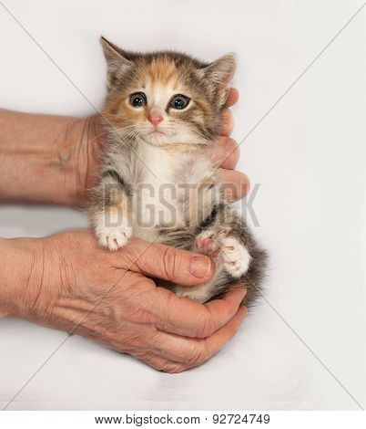 Tricolor Fluffy Kitten Sitting In Hand On Gray
