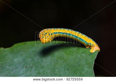 Dysphania Militaris Moth Caterpillar