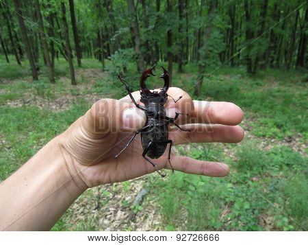 stag beetle in hand