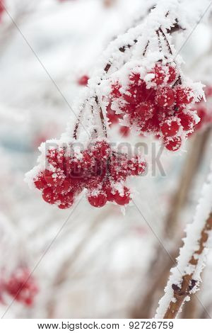 Ash Berries In Snow