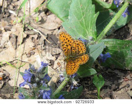 marsh butterfly