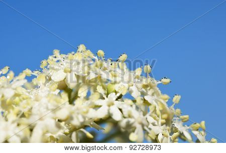 Flower Of Elder