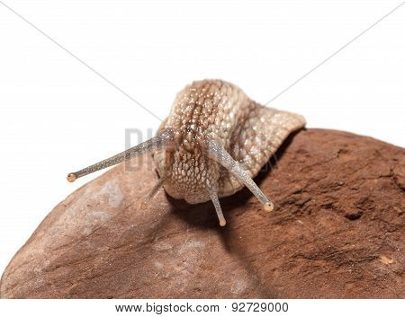 Garden Snail Creep Over Stone