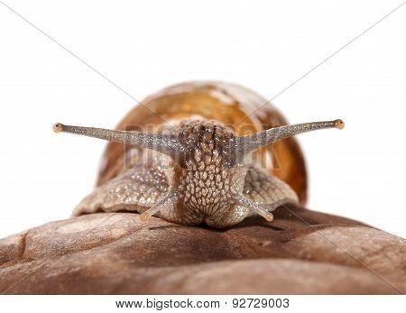 Garden Snail Portrait