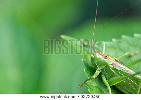 Green grasshopper on a leaf