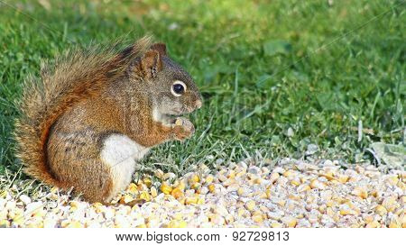 The Red Squirrel eating from a pile of corn