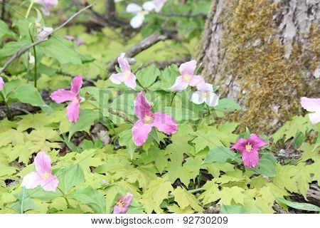 Trillium grandiflorum (Pinks & Whites)
