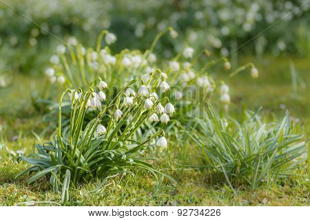Closeup of snowdrops with blurred green background