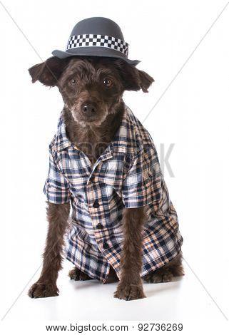 mixed breed dog wearing fedora and plaid shirt on white background