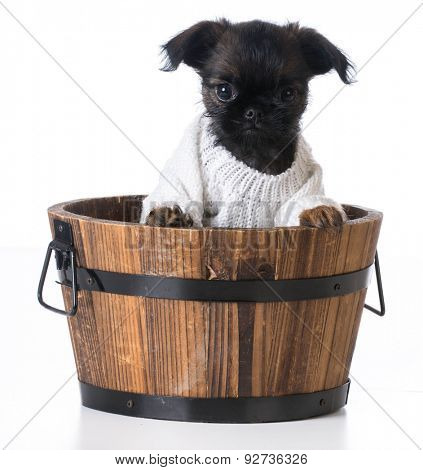 cute puppy - brussels griffon inside a wooden bucket on white background