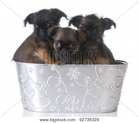 litter of brussels griffon puppies inside a basket on white background