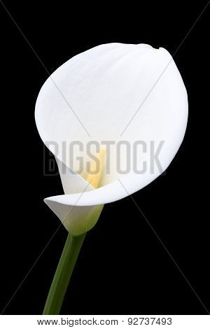 Close-up Of Arum Lily From The Front
