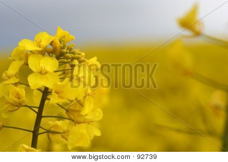 Closeup Of A Rape Plant.
