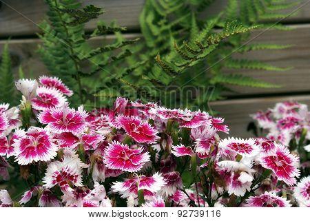 Turkish Carnation Flower Bed