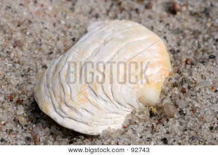 Closeup Of A Shell.