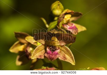 Wild Orchid Flowers - Epipactis Tremolsii