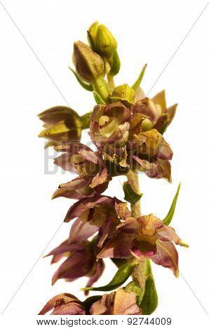 Wild Orchid Flowers - Epipactis Lusitanica
