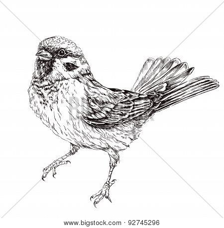 Sparrow. Vector illustration isolated on white